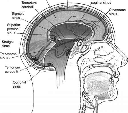 Venous Drainage of the Brain and the Dural Venous Sinuses Dural ...