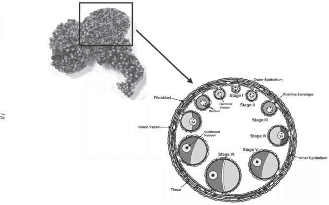 The Physiology of the Xenopus laevis Ovary Melissa A Rasar ...