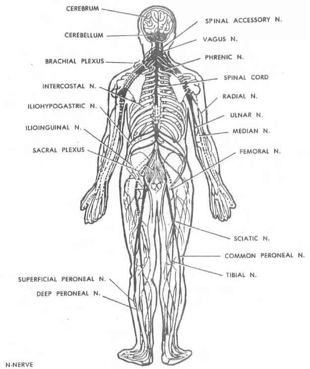 Bperipheral Nervous System Dental Anatomy Global Healthcare