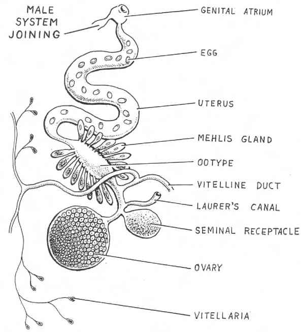 Male Reproductive System Key Stage